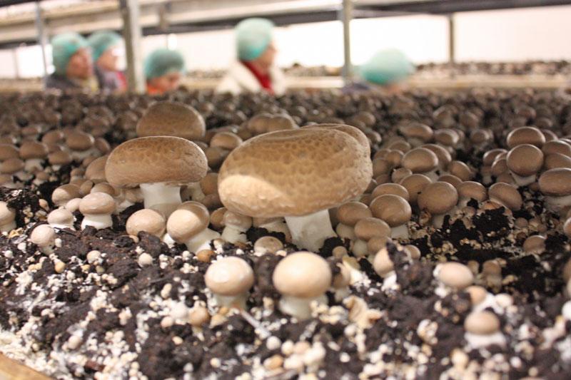 betrieb produziert 100 tonnen champignons pro woche aus der region. Black Bedroom Furniture Sets. Home Design Ideas